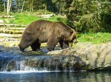 Bruine Kodiak van Alaska draagt stock foto's