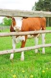 Bruine koe Stock Afbeeldingen