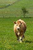 Bruine koe Stock Foto