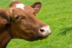 Bruine koe Royalty-vrije Stock Afbeelding