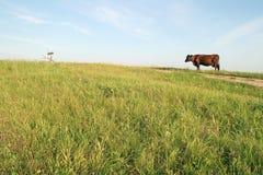 Bruine koe stock afbeelding