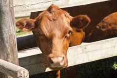 bruine koe Stock Fotografie