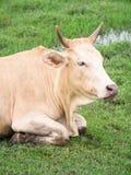 bruine koe Royalty-vrije Stock Afbeeldingen