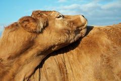 bruine koe stock foto's