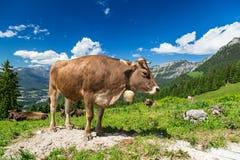 Bruine koe in berglandschap Stock Foto