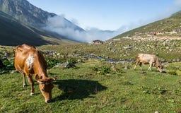 Bruine koe bij een bergweiland in de zomer Royalty-vrije Stock Fotografie