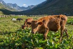 Bruine koe bij een bergweiland in de zomer Royalty-vrije Stock Foto