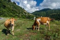 Bruine koe bij een bergweiland in de zomer Stock Afbeelding