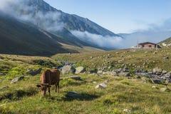 Bruine koe bij een bergweiland in de zomer Stock Foto's