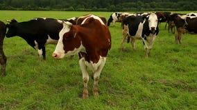 Bruine koe in de voorgronddraaien vanaf de camera stock footage