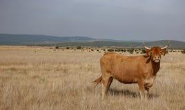 Bruine koe in de zachtheid stock foto's