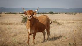 Bruine koe in de zachtheid stock foto
