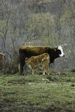 Bruine koe en kalfszuigeling in een prairie Royalty-vrije Stock Afbeeldingen