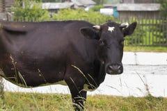 Bruine koe in het dorp Stock Foto's