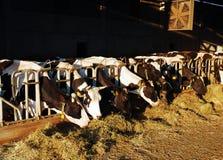 Bruine koeien royalty-vrije stock fotografie
