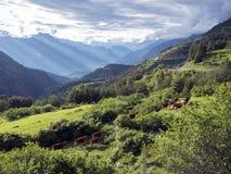 Bruine koeien in bergweide dichtbij vars in alpen van Haute Provence royalty-vrije stock foto's