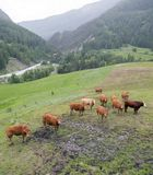 Bruine koeien in bergweide dichtbij vars in alpen van Haute Provence stock fotografie