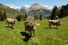 Bruine koeien in de alpiene weide royalty-vrije stock afbeeldingen