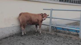 Bruine koeien