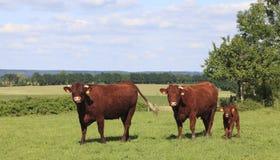 Bruine koeien in Normandië Royalty-vrije Stock Foto