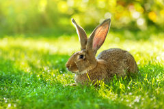 Bruine konijnzitting in gras Stock Fotografie