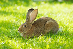 Bruine konijnzitting in gras Stock Afbeelding