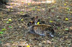 Bruine konijnzitting op stro Stock Foto's
