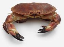 Bruine krab stock foto's