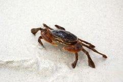 Bruine krab op het witte zand Royalty-vrije Stock Foto