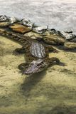 Bruine Krokodil in het water royalty-vrije stock foto's