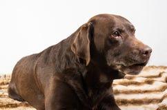 Bruine Labrador royalty-vrije stock afbeelding