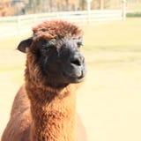 Bruine lama Royalty-vrije Stock Afbeelding