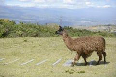 Bruine lama op het gebied Stock Foto