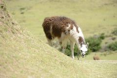 Bruine lama op het gebied Stock Afbeelding