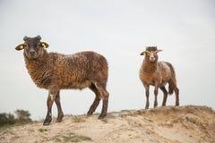 Bruine lammeren op zandige heuvel op Nederlands bosgebied dichtbij Zeist Stock Afbeeldingen