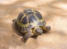 Bruine land grote schildpad die op het gele zand kruipen, die naar huis geliefd huisdier lopen royalty-vrije stock fotografie