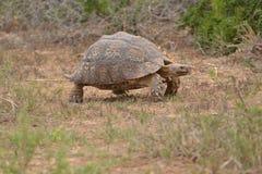 Bruine landschildpad Stock Afbeeldingen