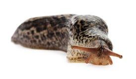 Bruine lange die slak op de witte achtergrond wordt geïsoleerd Royalty-vrije Stock Afbeelding