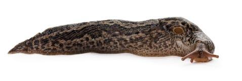 Bruine lange die slak op de witte achtergrond wordt geïsoleerd Royalty-vrije Stock Foto's