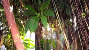 Bruine lange luchtwortels van het grote Indische banyan boom hangen neer in zonlicht en wind Groene bladeren met gele vruchten en stock video
