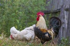 Bruine Leghorn kippen en haan Stock Foto's