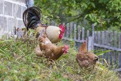 Bruine Leghorn kippen en haan Royalty-vrije Stock Fotografie