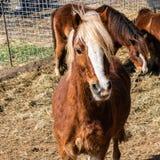 Bruine leuke poney die camera, mooie huisdieren bekijken - Beeld stock afbeeldingen