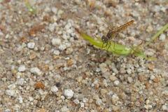 Bruine libeltribunes op gras met zand, op de natuurlijke achtergrond stock afbeeldingen