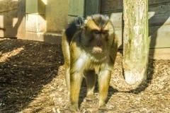 Bruine macaqueaap die zich in houten spaanders bevinden die een dierlijk portret van de beetje droevig of bored primaat kijken stock afbeeldingen
