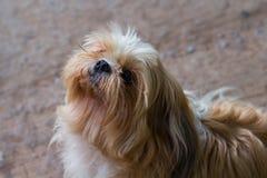 Bruine Maltese hond Stock Foto