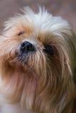 Bruine Maltese hond Stock Afbeeldingen