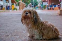 Bruine Maltese hond Stock Fotografie