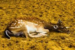 Bruine mooie bevlekte gehoornde fawn stock afbeeldingen