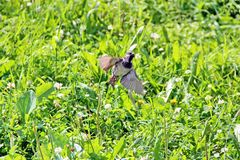 Bruine Mus die omhoog van groen gras, close-up vliegen stock foto